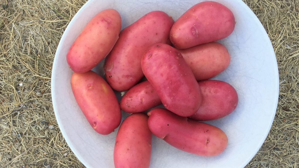Potatis av sorten cherie